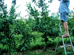 David tending to the apple trees
