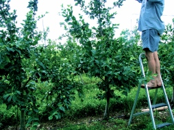 David tending to the apple trees