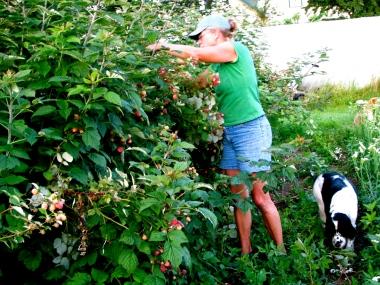 Marsha picking raspberries
