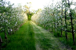 Orchard in bloom