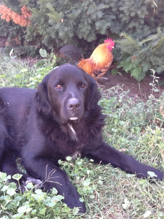 Lou making friends with the chickens