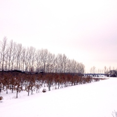 The orchard in the snow