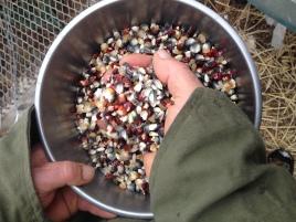 Dave's heirloom corn kernals.